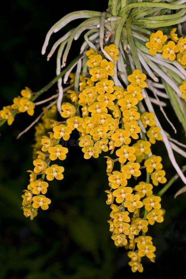 Orchid6 royalty-vrije stock afbeeldingen
