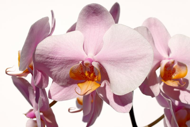 Orchidaceae λουλουδιών ορχιδεών Rosa κρητιδογραφιών στο άσπρο υπόβαθρο στοκ φωτογραφίες με δικαίωμα ελεύθερης χρήσης
