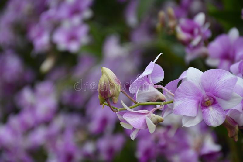 Orchidaceae royaltyfri bild