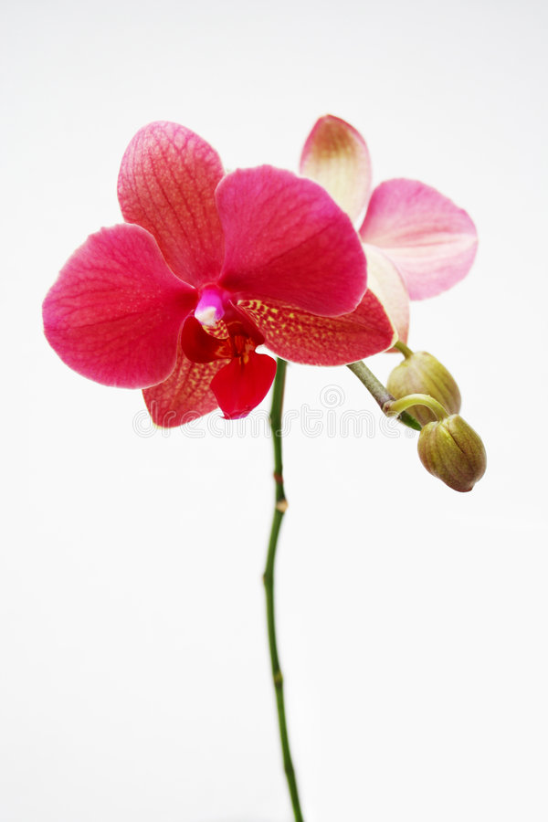 Free Orchidaceae Royalty Free Stock Images - 7368479