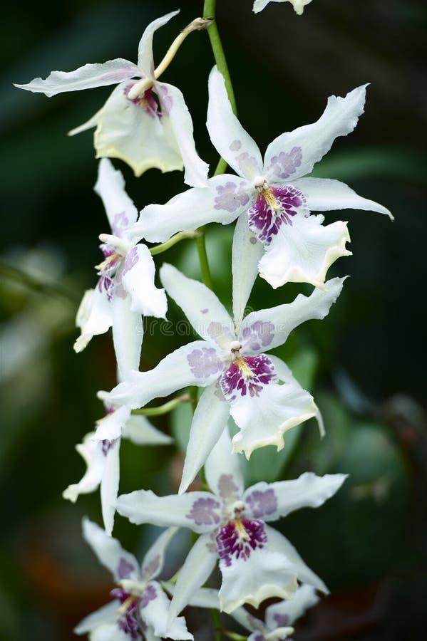 Orchidaceae-Blumen stockbild