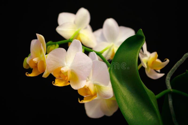 orchidaceae Branco-amarelo da flor da orquídea no fundo preto imagem de stock