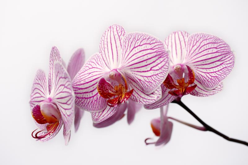 Orchidaceae branco-cor-de-rosa listrado da flor da orquídea no fundo branco imagem de stock