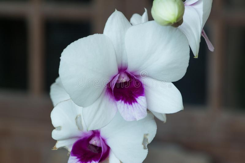Beautiful Orchid, srilankan Orchid Farm royalty free stock image