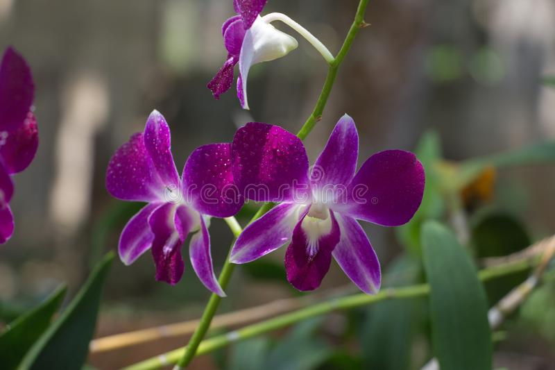 Beautiful Orchid, srilankan Orchid Farm stock photos