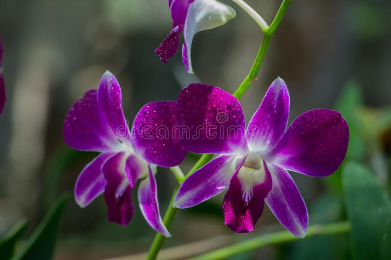 Beautiful Orchid, srilankan Orchid Farm stock image