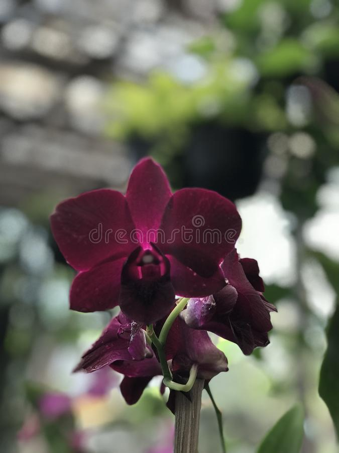 Purple Orchid, The Orchidaceae, Beautiful flower royalty free stock images