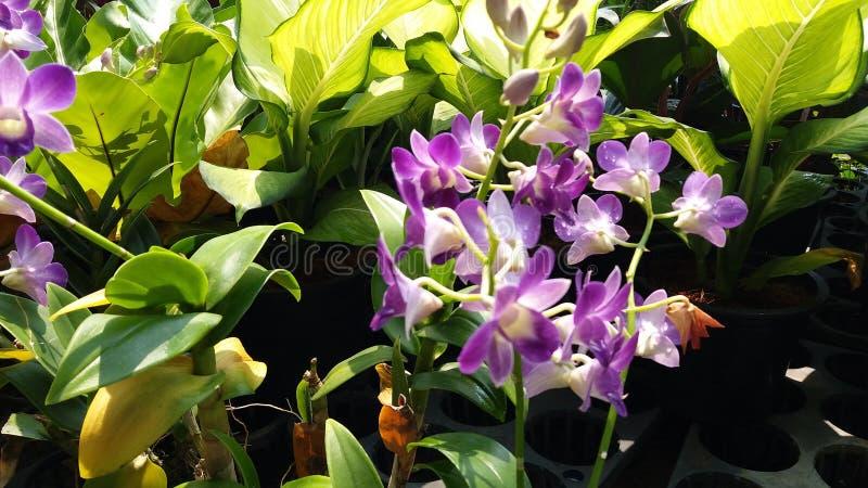 Orchidaceae do gigantea dos rhynchostylis dos plantae da orquídea imagens de stock