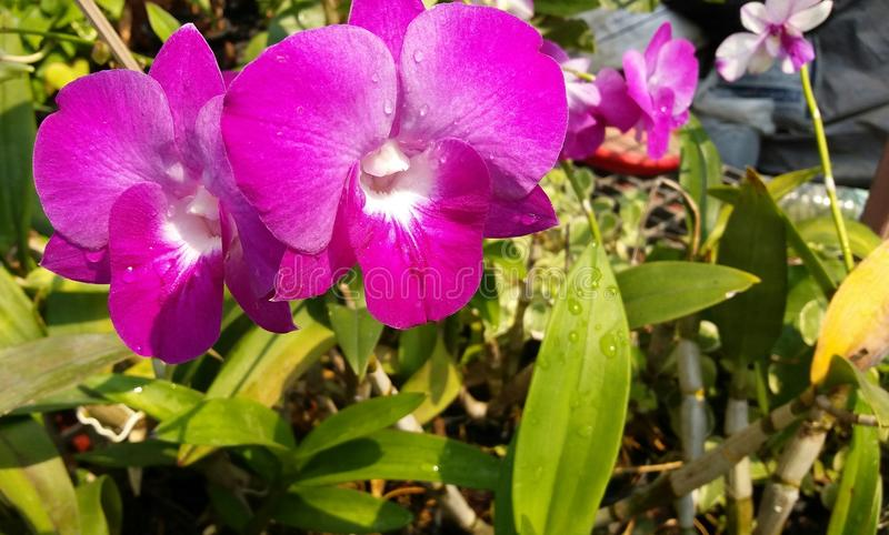 Orchidaceae do gigantea dos rhynchostylis dos plantae da orquídea imagem de stock royalty free