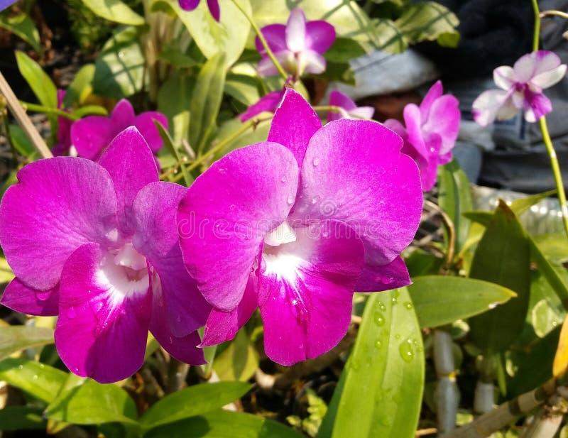Orchidaceae do gigantea dos rhynchostylis dos plantae da orquídea fotos de stock royalty free