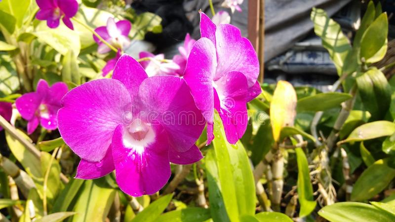 Orchidaceae do gigantea dos rhynchostylis dos plantae da orquídea fotografia de stock royalty free