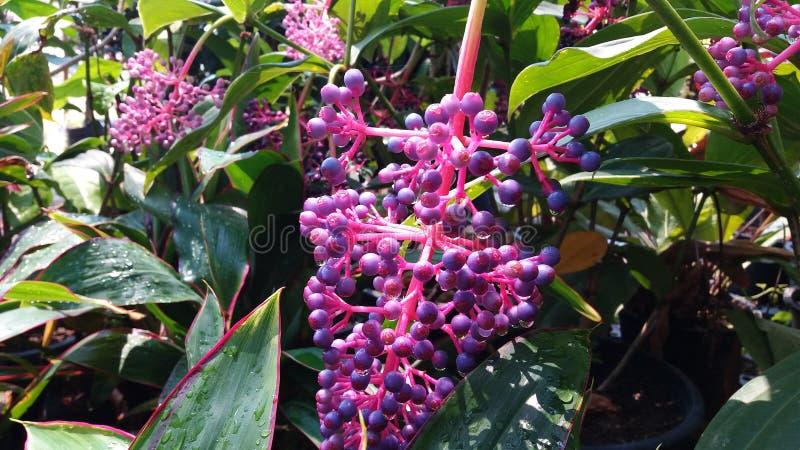 Orchidaceae do gigantea dos rhynchostylis dos plantae da orquídea fotos de stock