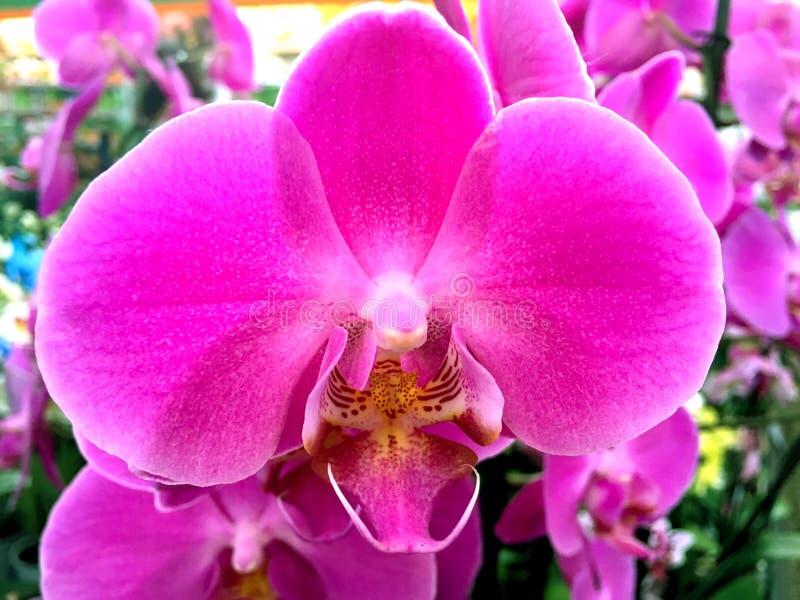 Orchidaceae fotografia de stock