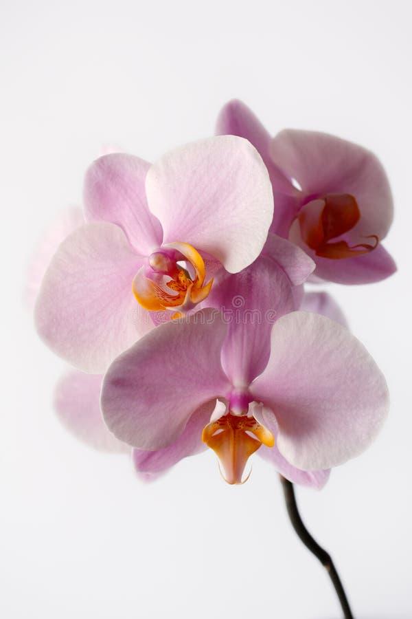 Orchidaceae pastel da flor da orquídea de rosa no fundo branco imagem de stock