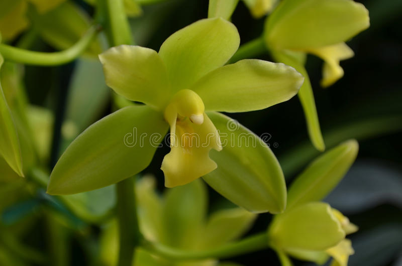 Orchidaceae verde magnífico que florece en un jardín fotografía de archivo