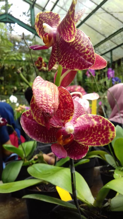 ORCHIDALES stock afbeelding