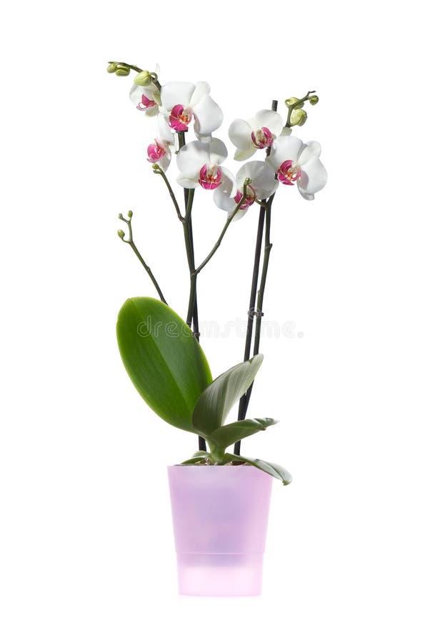 Orchidblomma royaltyfria bilder