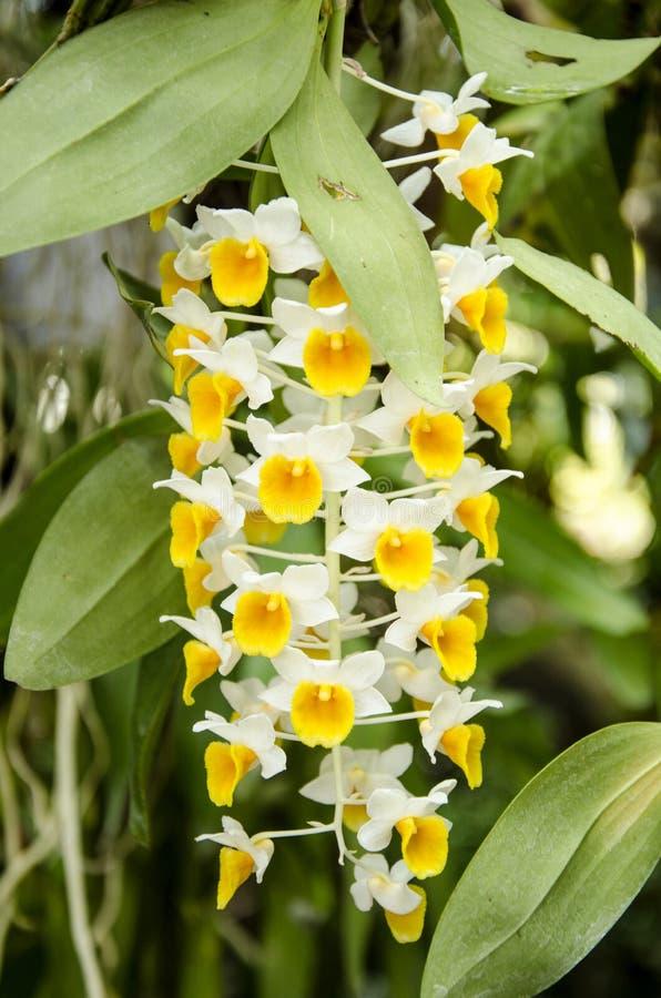 Dendrobiumthyrsiflorum (Dendrobiumthyrsiflorumen Rchb.f.) arkivbilder