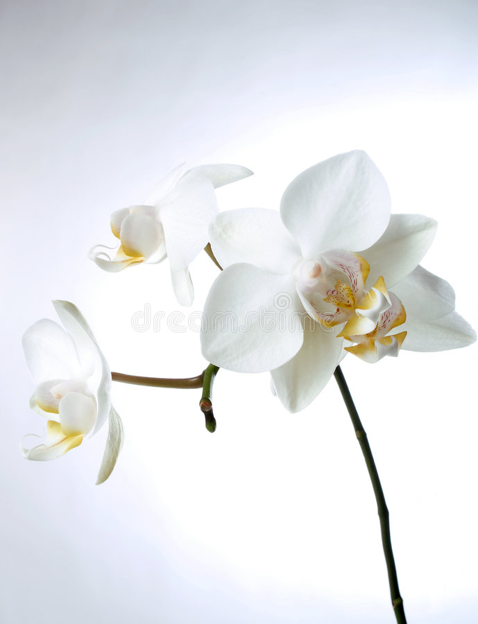 orchiddreamwhite royaltyfri foto