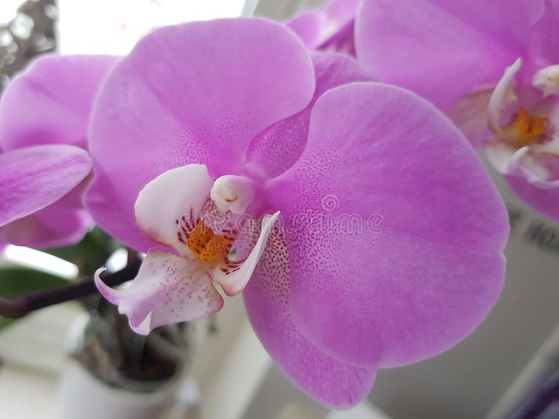 Orchide photo stock