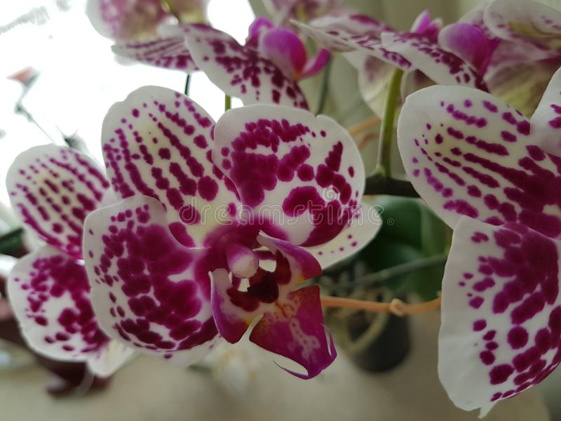 Orchide photos stock