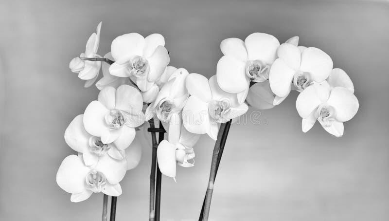 Orchide, einfarbig lizenzfreie stockbilder
