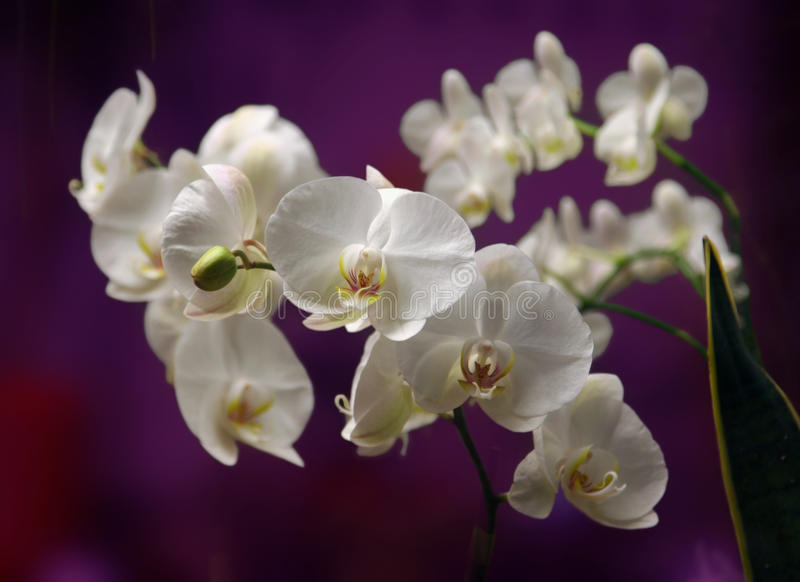 Orchide en cierre para arriba imagen de archivo