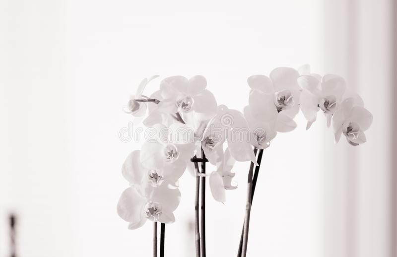Orchide, High Key royalty free stock photography