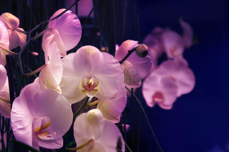 Orchide im Abschluss oben stockbilder