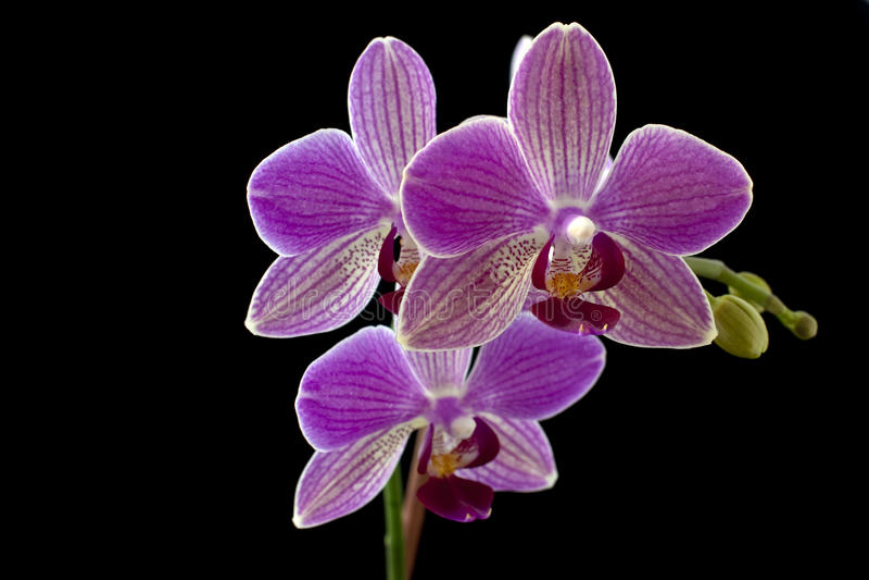 Orchidea fotografia stock libera da diritti