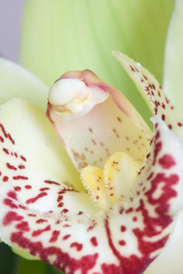 Download Orchidea zdjęcie stock. Obraz złożonej z macro, orchidee - 13341652