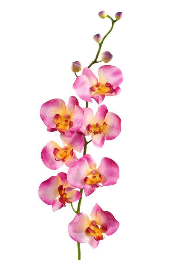 Orchidea immagine stock