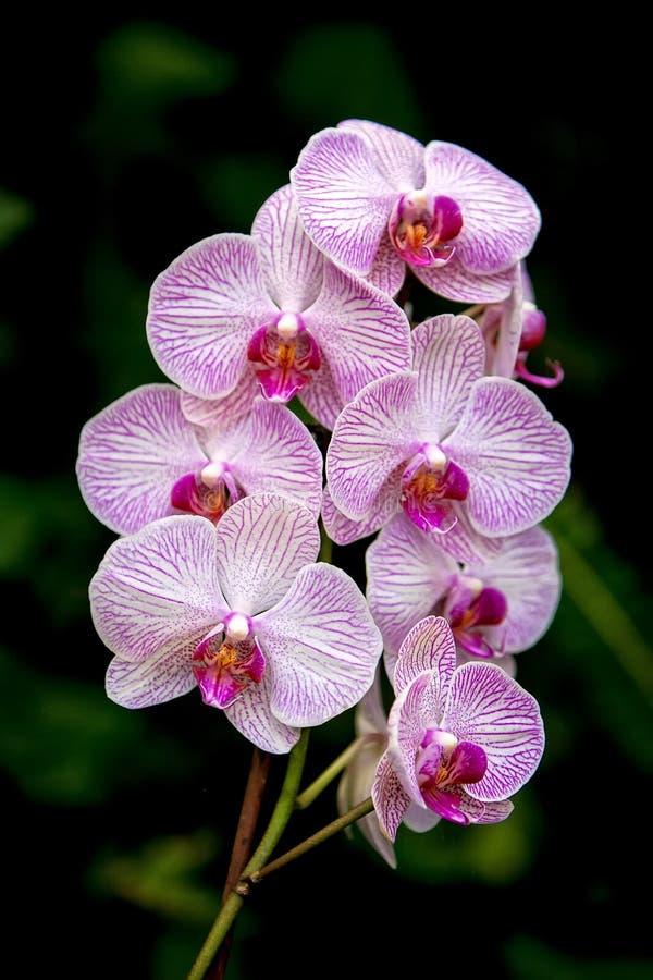 Download Orchidea obraz stock. Obraz złożonej z gałąź, greenbacks - 30424953