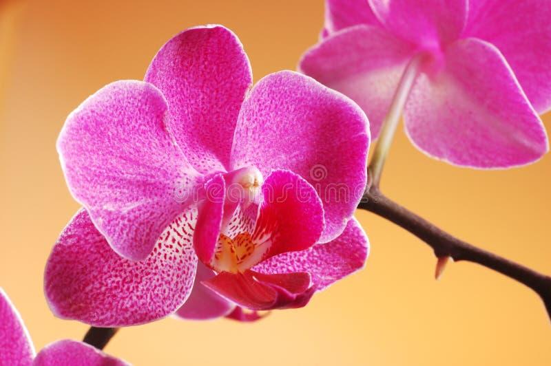 Download Orchidea fotografia stock. Immagine di nave, mazzo, colore - 3134238