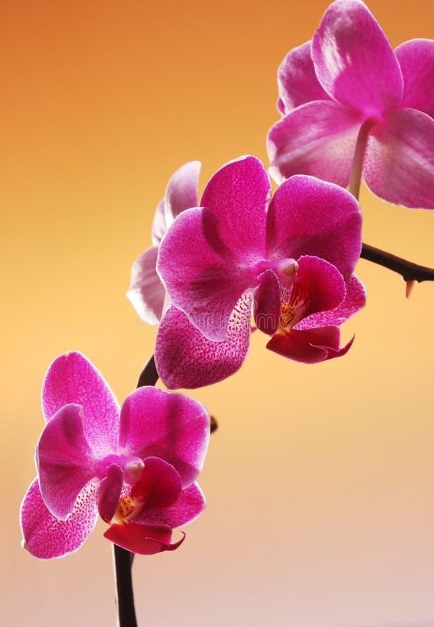 Download Orchidea fotografia stock. Immagine di colore, petalo - 3134246