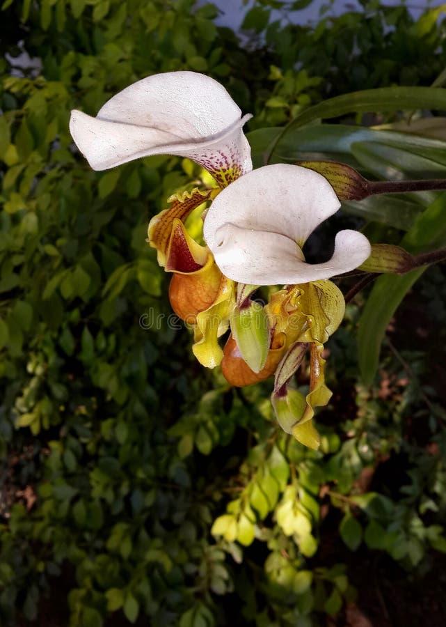 Orchidea imagem de stock royalty free