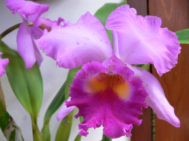 Orchidea stock afbeeldingen