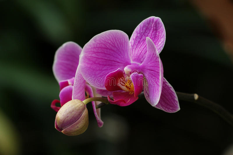 Orchidea obrazy royalty free