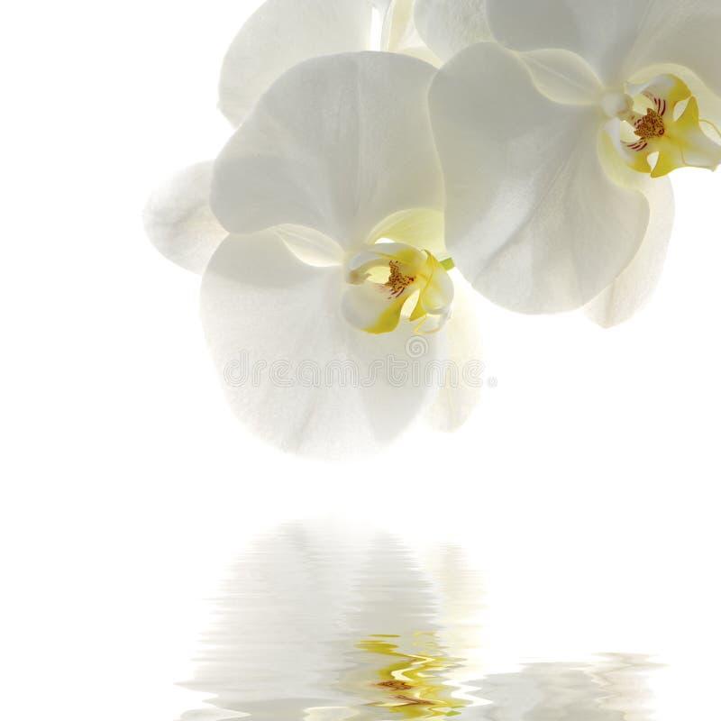 orchidea zdjęcia stock