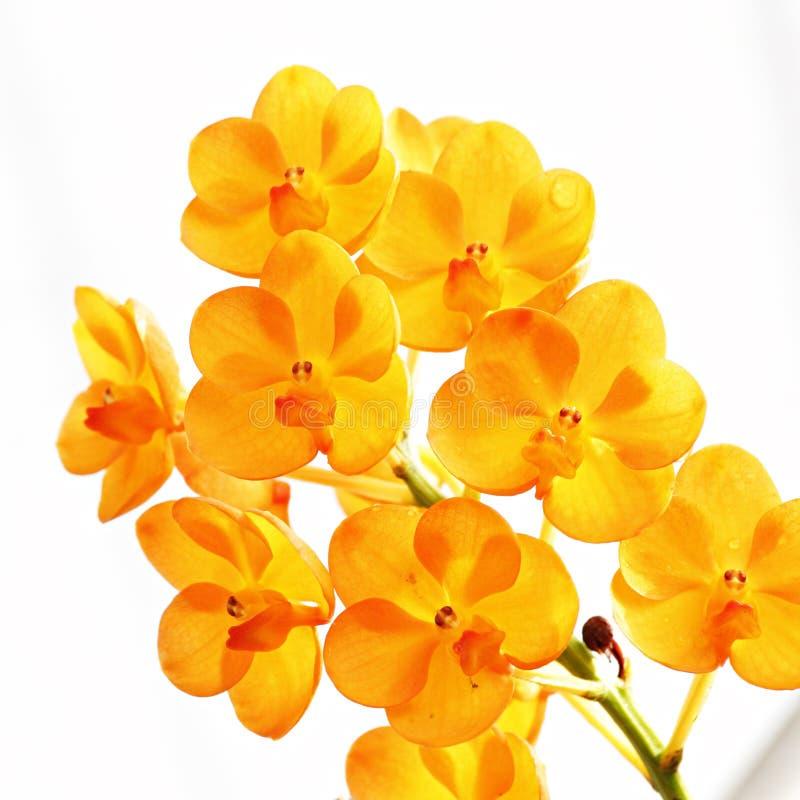 Orchidea arancione fotografie stock libere da diritti