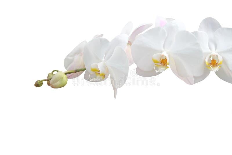 Download Orchidea bianca immagine stock. Immagine di contesto, elegante - 3894169