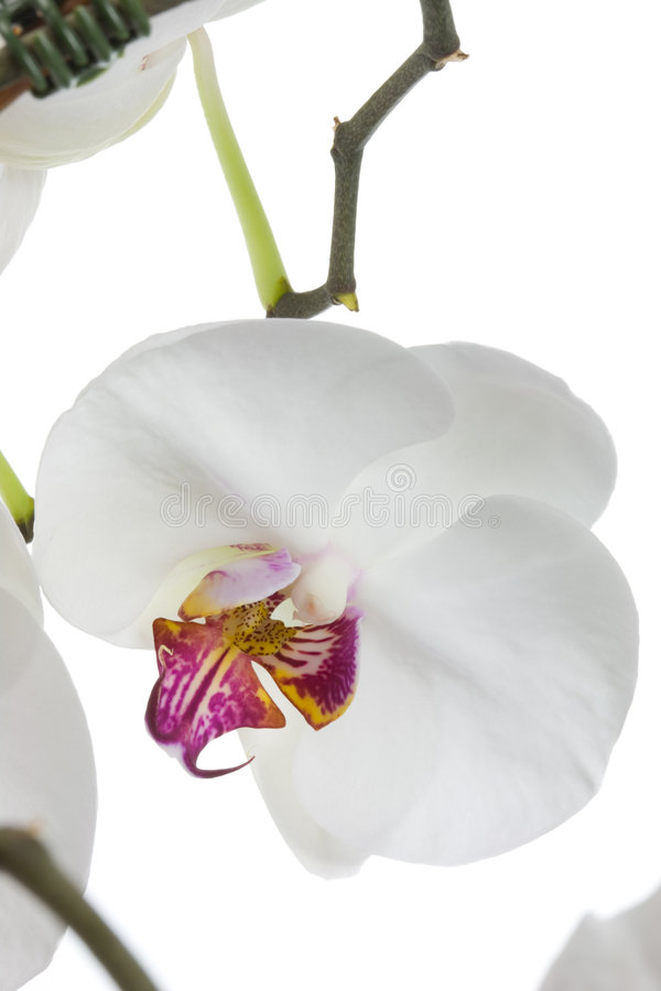 Download Orchidea bianca. fotografia stock. Immagine di fioritura - 7300356