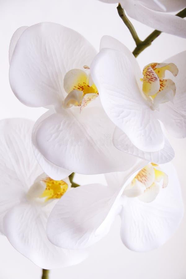 Orchidea bianca con centri gialli e arancioni sullo sfondo bianco fotografia stock
