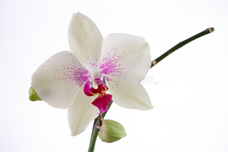 Orchidea bianca con fondo bianco fotografia stock libera da diritti