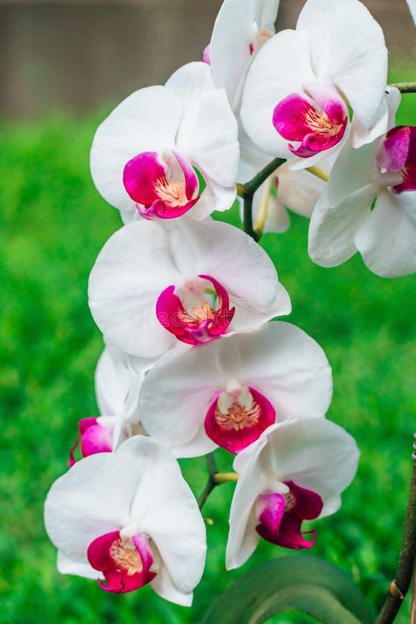 Orchidea bianca con un centro rosa su un fondo verde fotografia stock libera da diritti