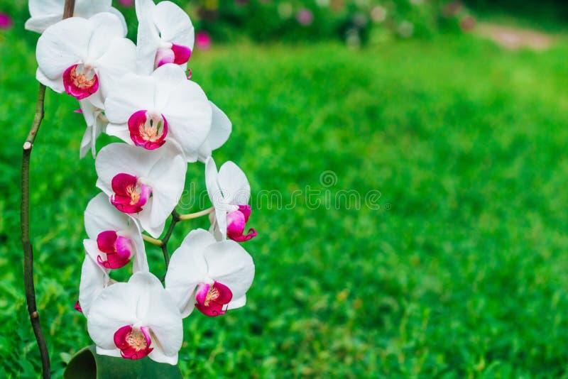 Orchidea bianca con un centro rosa su un fondo verde fotografie stock