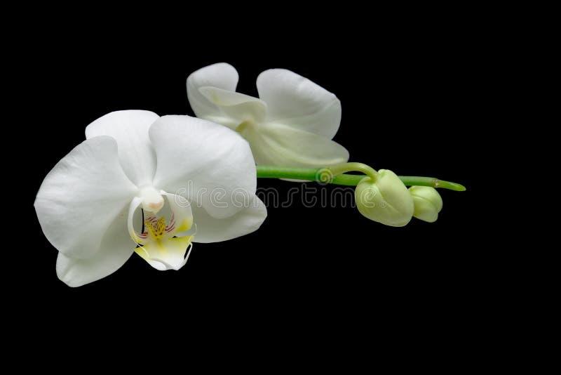 Orchidea bianca dei fiori isolata sulla fine nera del fondo su fotografia stock