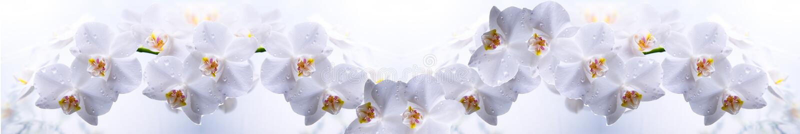 Orchidea bianca su un bianco fotografie stock libere da diritti