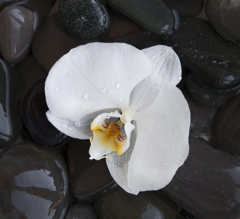 Orchidea bianca sulle pietre di una spiaggia immagini stock libere da diritti