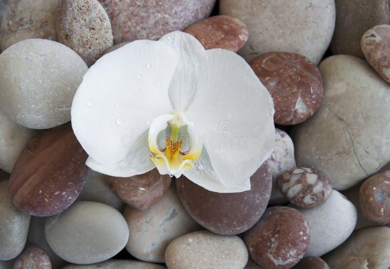 Orchidea bianca sulle pietre di una spiaggia fotografie stock